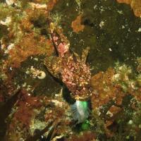 Баренцево море, дайвинг в Лиинахамари, морские животные, тур RuDIVE