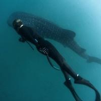 Дайвинг и фридайвинг в Джибути. Китовая акула. Автор фото Константин Новиков