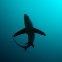 Акула-лисица. Филиппины, о. Малапаскуа. Автор фотографии Михаил Высоцкий. Фотобанк RuDIVE