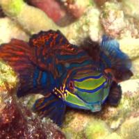 Рыбка-мандаринка. Филиппины, о. Малапаскуа. Автор фотографии Михаил Высоцкий. Фотобанк RuDIVE