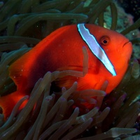 Дайвинг на Филиппинах с RuDIVE. Рыба-клоун