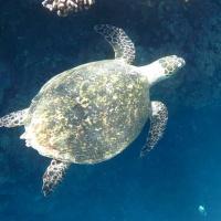 Египет, Красное море, Абу Даббаб. Зеленая черепаха. Автор фото Андрей Савин, RuDIVE