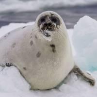 Наблюдение за бельками. Гренландский тюлень. Автор фото Илья Труханов. Тур RuDIVE