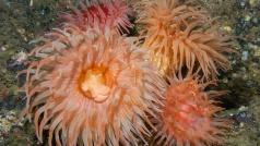 Дайвинг на Баренцевом море. Подводные актинии. Автор фото Дмитрий Портнов