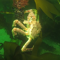 Баренцево море, дайвинг в Лиинахамари, камчатский краб, тур RuDIVE