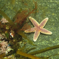 Баренцево море, дайвинг в Лиинахамари, морская звезда, тур RuDIVE