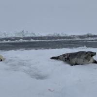 Гренландский тюлень и белёк. Экспедиция RuDIVE «Бельки Белого моря - 2019»