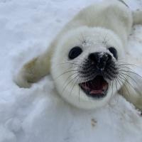 Белёк.  Экспедиция RuDIVE «Бельки Белого моря - 2019»