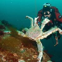 Дайвинг на Баренцевом море. Камчатский краб. Автор фото Наталья Червякова