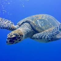 Дайвинг в Египте, Красное море, дайв-клуб RuDIVE. Морская черепаха. Автор фото Илья Труханов