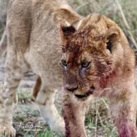 Наблюдение за животными Африки в Танзании. Автор фото Алексей Тищенко