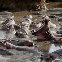 Наблюдение за животными Африки в Танзании. Бегемоты. Автор фото Алексей Тищенко